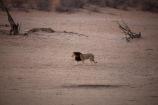 Africa;African;animal;animals;Black-maned-lion;Black-maned-lions;Black_maned-lion;Black_maned-lions;Botswana;carnivore;carnivores;cat;cats;desert;deserts;feline;game-park;game-parks;game-reserve;game-reserves;Gemsbok-National-Park;hunter;hunters;Kalahari-Black-maned-lion;Kalahari-Black-maned-lions;Kalahari-Black_maned-lion;Kalahari-Black_maned-lions;Kalahari-Desert;Kalahari-Gemsbok-N.P.;Kalahari-Gemsbok-National-Park;Kalahari-Gemsbok-NP;Kalahari-lion;Kalahari-lions;Kalahari-Tented-Camp;Kgalagadi;Kgalagadi-Park;Kgalagadi-Transfrontier-Park;lion;lions;mammal;mammals;national-park;national-parks;Panthera-leo;park;parks;predator;predators;Republic-of-South-Africa;safari;safaris;South-Africa;South-African-Republic;Southern-Africa;wilderness;wildlife;wildlife-park;wildlife-parks;wildlife-reserve;wildlife-reserves