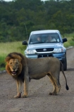 4wd;4wds;4wds;4x4;4x4s;4x4s;Africa;African-animals;African-wildlife;animal;animals;carnivore;carnivores;cat;cats;danger;dangerous;feline;four-by-four;four-by-fours;four-wheel-drive;four-wheel-drives;game-drive;game-park;game-parks;game-reserve;game-reserves;game-viewing;Great-Limpopo-Transfrontier-Park;Hilux;Hiluxes;hunter;hunters;Kruger;Kruger-N.P.;Kruger-National-Park;Kruger-NP;Kruger-reserve;Kruger-to-Canyons-Biosphere;Lion;lion-mane;lionesses;lions;male;male-lion;male-lions;mammal;mammals;mane;national-park;national-parks;natural;nature;Panthera-leo;predator;predators;Republic-of-South-Africa;reserve;reserves;South-Africa;South-African-Republic;Southern-Africa;sports-utility-vehicle;sports-utility-vehicles;suv;suvs;Toyota;toyota-camper;Toyota-Hilux;Toyota-Hiluxes;Toyotas;vehicle;vehicles;wild;wilderness;wildlife;wildlife-park;wildlife-parks;wildlife-reserve;wildlife-reserves