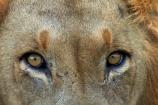 Africa;African-animals;African-wildlife;animal;animals;carnivore;carnivores;cat;cats;danger;dangerous;eye;eyes;face;faces;feline;game-drive;game-park;game-parks;game-reserve;game-reserves;game-viewing;Great-Limpopo-Transfrontier-Park;hunter;hunters;Kruger;Kruger-N.P.;Kruger-National-Park;Kruger-NP;Kruger-reserve;Kruger-to-Canyons-Biosphere;Lion;lion-close-up;lion-close_up;lion-closeup;lion-eyes;lion-face;lion-mane;lions-eyes;lionesses;lions;male;male-lion;male-lions;males;mammal;mammals;mane;national-park;national-parks;natural;nature;Panthera-leo;predator;predators;Republic-of-South-Africa;reserve;reserves;South-Africa;South-African-Republic;Southern-Africa;wild;wilderness;wildlife;wildlife-park;wildlife-parks;wildlife-reserve;wildlife-reserves