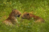 Africa;African-animals;African-wildlife;animal;animals;carnivore;carnivores;cat;cats;couple;couples;feline;game-drive;game-park;game-parks;game-reserve;game-reserves;game-viewing;grass;Great-Limpopo-Transfrontier-Park;hide;hiding;hiding-in-long-grass;hunter;hunters;Kruger;Kruger-N.P.;Kruger-National-Park;Kruger-NP;Kruger-reserve;Kruger-to-Canyons-Biosphere;leopard;leopards;long-grass;mammal;mammals;national-park;national-parks;natural;nature;pair;pairs;Panthera-pardus;predator;predators;Republic-of-South-Africa;reserve;reserves;rosette;rosettes;South-Africa;South-African-Republic;Southern-Africa;spot;spots;spotted;spotted-cat;spotted-cats;two;wild;wilderness;wildlife;wildlife-park;wildlife-parks;wildlife-reserve;wildlife-reserves