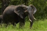 Africa;African-animals;African-bush-elephant;African-bush-elephants;African-elephant;African-elephants;African-wildlife;animal;animals;elephant;elephants;game-drive;game-park;game-parks;game-reserve;game-reserves;game-viewing;Great-Limpopo-Transfrontier-Park;Kruger;Kruger-N.P.;Kruger-National-Park;Kruger-NP;Kruger-reserve;Kruger-to-Canyons-Biosphere;Loxodonta-africana;mammal;mammals;national-park;national-parks;natural;nature;pachyderm;pachyderms;Republic-of-South-Africa;reserve;reserves;South-Africa;South-African-Republic;Southern-Africa;tusk;tusks;wild;wilderness;wildlife;wildlife-park;wildlife-parks;wildlife-reserve;wildlife-reserves