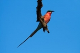 Africa;Animal;animals;avian;Bee-eater;Bee-eaters;Bee_eater;Bee_eaters;bird;bird-spotting;bird-watching;bird_watching;birds;Carmine;Carmine-Bee-eater;Carmine-Bee-eaters;Carmine-Bee_eater;Carmine-Bee_eaters;eco-tourism;eco_tourism;ecotourism;Fauna;game-park;game-parks;game-reserve;game-reserves;Great-Limpopo-Transfrontier-Park;Kruger;Kruger-N.P.;Kruger-National-Park;Kruger-NP;Kruger-reserve;Kruger-to-Canyons-Biosphere;Merops-nubicoides;national-park;national-parks;Natural;Nature;Ornithology;pink;Republic-of-South-Africa;South-Africa;South-African-Republic;Southern-Africa;Southern-Carmine-Bee-eater;Southern-Carmine-Bee-eaters;Southern-Carmine-Bee_eater;Southern-Carmine-Bee_eaters;wild;wildlife;wildlife-park;wildlife-parks;wildlife-reserve;wildlife-reserves