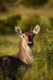 Africa;African-animals;African-wildlife;animal;animals;antelope;antelopes;common-waterbuck;common-waterbucks;ellipsen-waterbuck;ellipsen-waterbucks;female-waterbuck;female-waterbucks;females;game-drive;game-park;game-parks;game-reserve;game-reserves;game-viewing;Great-Limpopo-Transfrontier-Park;Kobus-ellipsiprymnus;Kobus-ellipsiprymnus-ellipsiprymnus;Kruger;Kruger-N.P.;Kruger-National-Park;Kruger-NP;Kruger-reserve;Kruger-to-Canyons-Biosphere;male;mammal;mammals;national-park;national-parks;natural;nature;Republic-of-South-Africa;reserve;reserves;safari;safaris;South-Africa;South-African-Republic;Southern-Africa;water-buck;water-bucks;Waterbick;waterbuck;waterbucks;wild;wilderness;wildlife;wildlife-park;wildlife-parks;wildlife-reserve;wildlife-reserves