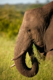 Africa;African-animals;African-bush-elephant;African-bush-elephants;African-elephant;African-elephants;African-wildlife;animal;animals;eat;eating;elephant;elephants;game-drive;game-park;game-parks;game-reserve;game-reserves;game-viewing;grass;Great-Limpopo-Transfrontier-Park;Kruger;Kruger-N.P.;Kruger-National-Park;Kruger-NP;Kruger-reserve;Kruger-to-Canyons-Biosphere;Loxodonta-africana;mammal;mammals;national-park;national-parks;natural;nature;pachyderm;pachyderms;Republic-of-South-Africa;reserve;reserves;safari;safaris;South-Africa;South-African-Republic;Southern-Africa;tusk;tusks;wild;wilderness;wildlife;wildlife-park;wildlife-parks;wildlife-reserve;wildlife-reserves