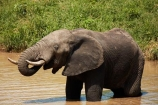 Africa;African;African-animals;African-bush-elephant;African-bush-elephants;African-elephant;African-elephants;African-wildlife;animal;animals;drink;drinking;elephant;elephants;game-drive;game-park;game-parks;game-reserve;game-reserves;game-viewing;Great-Limpopo-Transfrontier-Park;Kruger;Kruger-N.P.;Kruger-National-Park;Kruger-NP;Kruger-reserve;Kruger-to-Canyons-Biosphere;Loxodonta-africana;mammal;mammals;muddy;national-park;national-parks;natural;nature;pachyderm;pachyderms;pond;ponds;Republic-of-South-Africa;reserve;reserves;safari;safaris;South-Africa;South-African-Republic;Southern-Africa;trunk;trunks;tusk;tusks;water;water-hole;water-holes;waterhole;waterholes;wild;wilderness;wildlife;wildlife-park;wildlife-parks;wildlife-reserve;wildlife-reserves;Berg_en_Dal;Berg-en-Dal