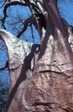 Baobab-;baobabs;cream-of-tartar;Tree;trees;baobab-trees;Kafue-National-Park;kafue;kafue-np;Zambia;zambian;africa;african;Southern-Africa;giant;huge;trunk;trunks;bark;branch;branches;bough;boughs;old;ancient