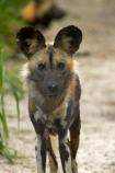 Africa;African-hunting-dog;African-hunting-dogs;African-wild-dog;African-wild-dogs;animal;animals;Cape-hunting-dog;Cape-hunting-dogs;carnivore;carnivores;game-park;game-parks;game-reserve;game-reserves;Hwange-N.P.;Hwange-National-Park;Hwange-NP;Lycaon-pictus;mammal;mammals;national-park;national-parks;ornate-wolf;ornate-wolfs;painted-dog;Painted-Dog-Conservation;Painted-Dog-Conservation-Project;painted-dogs;painted-hunting-dog;painted-hunting-dogs;painted-wolf;painted-wolfs;predator;predators;Southern-Africa;spotted-dog;spotted-dogs;Wankie-Game-Reserve;Wild-Dog-Conservation-Project-Hwange-National-Park;wildlife;wildlife-park;wildlife-parks;wildlife-reserve;wildlife-reserves;Zimbabwe