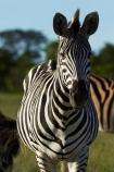 Africa;animal;animals;black-amp;-white;black-and-white;Chapmans-zebra;Chapmans-zebras;Chapmans-zebra;Chapmans-zebras;Equus-quagga;Equus-quagga-chapmani;game-park;game-parks;game-reserve;game-reserves;Hwange-N.P.;Hwange-National-Park;Hwange-NP;mammal;mammals;national-park;national-parks;plains-zebra;plains-zebras;Southern-Africa;Wankie-Game-Reserve;wildlife;wildlife-park;wildlife-parks;wildlife-reserve;wildlife-reserves;zebra;zebras;Zimbabwe