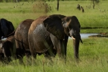 Africa;African-bush-elephant;African-bush-elephants;African-elephant;African-elephants;animal;animals;elephant;elephants;game-park;game-parks;game-reserve;game-reserves;Hwange-N.P.;Hwange-National-Park;Hwange-NP;Loxodonta-africana;mammal;mammals;mud-bath;mud-baths;national-park;national-parks;pachyderm;pachyderms;Southern-Africa;Wankie-Game-Reserve;wildlife;wildlife-park;wildlife-parks;wildlife-reserve;wildlife-reserves;Zimbabwe