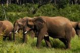 Africa;African-bush-elephant;African-bush-elephants;African-elephant;African-elephants;animal;animals;elephant;elephants;game-park;game-parks;game-reserve;game-reserves;Hwange-N.P.;Hwange-National-Park;Hwange-NP;Loxodonta-africana;mammal;mammals;national-park;national-parks;pachyderm;pachyderms;Southern-Africa;Wankie-Game-Reserve;wildlife;wildlife-park;wildlife-parks;wildlife-reserve;wildlife-reserves;Zimbabwe