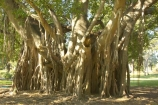 australasia;Australia;australian;Banyan-Fig-Tree;botanic-gardens;botanical;Brisbane;City-Botanic-Gardens;figs;indian;old;Queensland;root;roots;strangler-fig;tree;trees