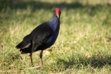 A.C.T.;ACT;Animal;animals;Australia;Australian-Capital-Territory;Avian;Beak;Bird;bird-watching;bird_watching;birds;Canberra;capital;capitals;Fauna;Feather;Natural;Nature;Ornithology;Porphyrio-porphyrio;Purple-Swamphen;wild;Wildlife;Wing