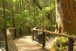 australasia;Australia;australian;board-walk;board-walks;boardwalk;boardwalks;bush;central-station;creek;creeks;foot-path;foot-paths;footpath;footpaths;forest;forests;Fraser-Island;great-sandy-n.p.;great-sandy-national-park;great-sandy-np;islands;native-bush;queensland;rainforest;track;tracks;tree;trees;UN-world-heritage-site;united-nations-world-heritage-s;vegetation;wanggoolba;wangoolba;world-heritage;World-Heritage-site
