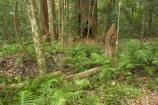 australasia;Australia;australian;bush;fern;ferns;forest;forests;Fraser-Island;great-sandy-n.p.;great-sandy-national-park;great-sandy-np;islands;native-bush;natural;palm;palms;pristine;queensland;rainforest;tree;trees;UN-world-heritage-site;united-nations-world-heritage-s;vegetation;world-heritage;World-Heritage-site