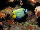 Agincourt-Reef;Agincourt-Reefs;Angelfishes;Australasian;Australia;Australian;Barrier-Reef;blue;coral-reef;coral-reefs;Coral-Sea;dive-site;dive-sites;diving;ecosystem;Emperor-Angelfish;Emperor-Angelfishes;environment;fish;fishes;Great-Barrier-Reef;Great-Barrier-Reef-Marine-Park;marine;marine-environment;marine-life;marinelife;North-Queensland;Ocean;oceanlife;Oceans;pomacanthidae;Pomacanthus-imperator;Qld;Queensland;reef;reefs;ribbon-reef;ribbon-reefs;ribbonreef;ribbonreefs;scuba-diving;Sea;sealife;Seas;South-Pacific;Tasman-Sea;Tropcial-North-Queensland;tropical-reef;tropical-reefs;under-water;under_water;undersea;underwater;underwater-photo;underwater-photography;underwater-photos;UNESCO-World-Heritage-Site;Wiorld-Heritage-Site;World-Heritage-Area;World-Heritage-Park;yellow
