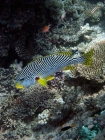 Agincourt-Reef;Agincourt-Reefs;Australasian;Australia;Australian;Barrier-Reef;coral-reef;coral-reefs;Coral-Sea;Diagonal_Banded-Sweetlip;Diagonal_Banded-Sweetlips;dive-site;dive-sites;diving;ecosystem;environment;fish;fishes;Great-Barrier-Reef;Great-Barrier-Reef-Marine-Park;marine;marine-environment;marine-life;marinelife;North-Queensland;Ocean;oceanlife;Oceans;Plectorhinchus-lineatus;Qld;Queensland;reef;reefs;ribbon-reef;ribbon-reefs;ribbonreef;ribbonreefs;scuba-diving;Sea;sealife;Seas;South-Pacific;Tasman-Sea;Tropcial-North-Queensland;tropical-reef;tropical-reefs;under-water;under_water;undersea;underwater;underwater-photo;underwater-photography;underwater-photos;UNESCO-World-Heritage-Site;Wiorld-Heritage-Site;World-Heritage-Area;World-Heritage-Park