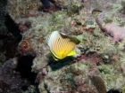 Agincourt-Reef;Agincourt-Reefs;Australasian;Australia;Australian;Barrier-Reef;Chaetodon-trifasciatus;Chaetodontidae;coral-reef;coral-reefs;Coral-Sea;dive-site;dive-sites;diving;ecosystem;environment;fish;fishes;Great-Barrier-Reef;Great-Barrier-Reef-Marine-Park;Lineated-butterflyfish;marine;marine-environment;marine-life;marinelife;Melon-Butterflyfish;North-Queensland;Ocean;oceanlife;Oceans;Qld;Queensland;Rainbow-butterflyfish;Redfin-Butterflyfish;Redfin-Butterflyfishes;reef;reefs;ribbon-reef;ribbon-reefs;ribbonreef;ribbonreefs;scuba-diving;Sea;sealife;Seas;South-Pacific;Tasman-Sea;Tropcial-North-Queensland;tropical-reef;tropical-reefs;under-water;under_water;undersea;underwater;underwater-photo;underwater-photography;underwater-photos;UNESCO-World-Heritage-Site;Wiorld-Heritage-Site;World-Heritage-Area;World-Heritage-Park