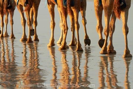 Australasian;Australia;Australian;beach;beaches;Broome;calm;camel;camel-feet;camel-foot;camel-hoof;camel-hooves;camel-train;camel-trains;camels;coast;coastal;coastline;feet;foot;hoof;hooves;Kimberley;Kimberley-Region;leg;legs;placid;quiet;reflection;reflections;sand;sandy;serene;shore;shoreline;smooth;still;The-Kimberley;tourism;tourist;tourist-attraction;tourist-attractions;tourists;tranquil;W.A.;WA;water;West-Australia;Western-Australia
