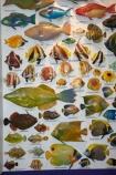 Australasian;Australia;Australian;Broome;colourful-fish;fish;fish-display;fish-displays;fish-identification;fishes;Kimberley;Kimberley-Region;marine-life;The-Kimberley;The-Shell-House;W.A.;WA;West-Australia;Western-Australia