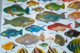 Australasian;Australia;Australian;Broome;colourful-fish;fish;fish-display;fish-displays;fish-identification;fishes;Kimberley;Kimberley-Region;marine-life;parrotfish;The-Kimberley;The-Shell-House;W.A.;WA;West-Australia;Western-Australia