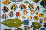 Australasian;Australia;Australian;Broome;colourful-fish;fish;fish-display;fish-displays;fish-identification;fishes;Kimberley;Kimberley-Region;marine-life;The-Kimberley;The-Shell-House;W.A.;WA;West-Australia;Western-Australia