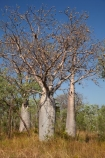 Adansonia-gregorii;Australasia;Australasian;Australia;Australian;Australian-baobab;Australian-Desert;Australian-Outback;back-country;backcountry;backwoods;baobab-tree;baobab-trees;boab-tree;boab-trees;bottle-tree;bottle-trees;country;countryside;cream-of-tartar-tree;d;Derby;gadawon;geographic;geography;gourd_gourd-tree;Great-Northern-Highway;Kimberley;Kimberley-Region;Kununurra;Outback;remote;remoteness;rural;The-Kimberley;tree;tree-trunk;tree-trunks;trees;trunk;trunks;W.A.;WA;West-Australia;Western-Australia;wilderness