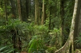 Australasian;Australia;Australian;buttress-root;buttress-roots;Central-Eastern-Rainforest-Reserves;Dorrigo-N.P.;Dorrigo-National-Park;Dorrigo-NP;Dorrigo-Rainforest;forest;forests;Gondwana-Rainforests-of-Australia;green;lush;Mid-North-Coast;Mid-North-Coast-NSW;Mid-North-Nsw;Mid-Northern-NSW;N.S.W.;New-South-Wales;NSW;rainforest;rainforests;timber;tree;tree-trunk;tree-trunks;trees;trunk;trunks;verdant;Waterfall-Way;Wonga-Walk;wood;World-Heritage-Site