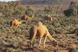 animal;animals;arid;Australasia;Australasian;Australia;Australian;Australian-Desert;Australian-Deserts;Australian-Outback;back-country;backcountry;backwoods;Broken-Hill;camel;camels;country;countryside;desert;desert-animal;desert-animals;deserts;dromedaries;dromedary;dry;geographic;geography;mammal;mammals;N.S.W.;New-South-Wales;NSW;outback;red-centre;remote;remoteness;rural;sand;Silverton;wilderness