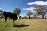 agricultural;agriculture;animal;animals;australasia;Australasian;Australia;australian;cattle;country;countryside;cow;cows;farm;farming;farmland;farms;field;fields;grass;grassy;Gundagai;Herbivore;Herbivores;Herbivorous;Livestock;mammal;mammals;meadow;meadows;Murrumbidgee-River-flood-plain;N.S.W.;New-South-Wales;NSW;paddock;paddocks;pasture;pastures;rural;South-New-South-Wales;South-West-Slopes;Southern-New-South-Wales;stock