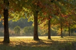 Alpine-Way;Australia;autuminal;autumn;autumn-colour;autumn-colours;autumnal;color;colors;colour;colours;deciduous;fall;Khancoban;leaf;leaves;N.S.W.;New-South-Wales;NSW;oak;oak-tree;oak-trees;oaks;season;seasonal;seasons;Snowy-Mountains;Snowy-Mountains-Drive;South-New-South-Wales;Southern-New-South-Wales;tree;trees