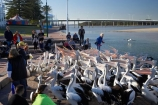 Australasian;Australia;Australian;Australian-Pelican;Australian-Pelicans;crowd;flock;flocks;group;lots;many;N.S.W.;New-South-Wales;NSW;The-Entrance