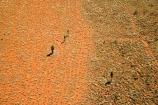 aerial;aerial-photo;aerial-photography;aerial-photos;aerial-view;aerial-views;aerials;Allocasuarina-decaisneana;arid;Australasia;Australia;Australian;Australian-Desert;Australian-Deserts;Desert;Desert-Oak;Desert-Oaks;Deserts;grasses;grasss;Kurkara;N.T.;National-Park;National-Parks;Northern-Territory;NT;orange-sand;Outback;red;red-centre;red-sand;sand;sandy;Uluru;Uluru-_-Kata-Tjuta-National-Park;Uluru-_-Kata-Tjuta-World-Heritage-Area;Uluru_Kata-Tjuta;UNESCO;Unesco-world-heritage-area;World-Heritage-Area;World-Heritage-Areas