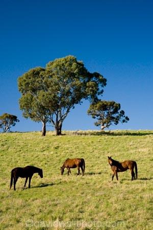 Australasian;Australia;Australian;Barossa-Valley;country;countryside;equestrian;eucalypt;eucalypts;eucalyptus;eucalytis;farm;farming;farmland;farms;field;fields;gum;gum-tree;gum-trees;gums;horse;horses;meadow;meadows;paddock;paddocks;pasture;pastures;rural;S.A.;SA;South-Australia;stock;tree;trees