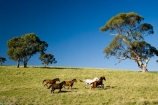 Australasian;Australia;Australian;Barossa-Valley;country;countryside;equestrian;eucalypt;eucalypts;eucalyptus;eucalytis;farm;farming;farmland;farms;field;fields;gum;gum-tree;gum-trees;gums;horse;horse-running;horses;horses-running;meadow;meadows;paddock;paddocks;pasture;pastures;running-horse;running-horses;rural;S.A.;SA;South-Australia;stock;tree;trees