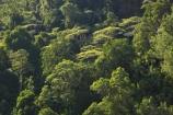 australasia;Australia;australian;bush;forest;forests;green;Hinterland;Kondalilla-National-Park;lush;natural;nature;Queensland;rain-forest;rain-forests;rain_forest;rain_forests;rainforest;rainforests;Sunshine-Coast;tree;trees;wilderness;woods
