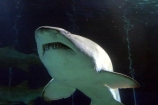 shark;underwater;under_water;fish;danger;dangerous;predator;predators;terror;terrifying;scary;swim;swims;swimming