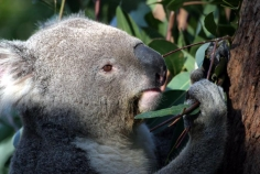 taronga;zoo;Animal;Animals;Australia;Close-up;Close_up;Koala;Koalas;Mammal;Mammals;Marsupial;Marsupials;Nature;Oceania;animal;Phascolarctos-cinereus;Wild;Wildlife;Zoology;Phascolarctos;climb;climbs;tree;trees;fur;furry