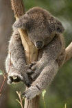 Animal;Animals;Australasia;Australia;australian;climb;climbs;Close-up;Close_up;eucalyptus;face;fur;furry;gum-tree;Koala;Koalas;Mammal;Mammals;Marsupial;Marsupials;N.S.W.;Nature;New-South-Wales;NSW;Oceania;Phascolarctos;Phascolarctos-cinereus;sleep;sleepy;Sydney;Taronga-Zoo;tree;trees;Wild;Wildlife;zoo;Zoology