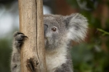 Animal;Animals;Australasia;Australia;australian;climb;climbs;Close-up;Close_up;eucalyptus;face;fur;furry;gum-tree;Koala;Koalas;Mammal;Mammals;Marsupial;Marsupials;N.S.W.;Nature;New-South-Wales;NSW;Oceania;peek;peeking;Phascolarctos;Phascolarctos-cinereus;Sydney;Taronga-Zoo;tree;trees;Wild;Wildlife;zoo;Zoology