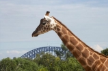 animal;animals;Australasia;Australia;bridge;bridges;Giraffa-camelopardalis;giraffe;giraffes;icon;iconic;icons;landmark;landmarks;mammal;mammals;N.S.W.;New-South-Wales;NSW;Sydney;Sydney-Harbor-Bridge;Sydney-Harbour-Bridge;Sydney-Zoo;Taronga-Zoo;wildlife;zoo;zoos