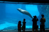 Australasia;Australia;Hydrurga-leptonyx;Leopard-Seal;Leopard-Seals;mammal;mammals;N.S.W.;New-South-Wales;NSW;people;person;Sydney;Sydney-Zoo;Taronga-Zoo;underwater;viewing;wildlife;zoo;zoos