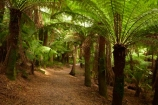 Australasian;Australia;Australian;beautiful;beauty;bush;cyathea;East-Tasmania;Eastern-Tasmania;endemic;fern;fern-glade;ferns;forest;forests;frond;fronds;green;hiking-track;hiking-tracks;Island-of-Tasmania;native;native-bush;natural;nature;plant;plants;Saint-Columba-Falls-State-Reserve;scene;scenic;St-Columba-Falls-State-Reserve;St.-Columba-Falls-State-Reserve;State-of-Tasmania;Tas;Tasmania;tramping-tack;tramping-tracks;tree;tree-fern;tree-ferns;trees;walking-track;walking-tracks;wood;woods