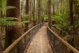 Australasian;Australia;Australian;beautiful;beauty;bush;Derwent-Valley;endemic;Eucalyptus-Forest;forest;forests;green;Island-of-Tasmania;Mount-Field-N.P.;Mount-Field-National-Park;Mount-Field-NP;Mt-Field-N.P.;Mt-Field-National-Park;Mt-Field-NP;native;native-bush;natural;nature;scene;scenic;State-of-Tasmania;Tall-Trees-Loop;Tall-Trees-Track;Tall-Trees-Walk;Tall-Trees-Walking-Track;Tas;Tasmania;tree;trees;wood;woods
