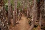 Australasian;Australia;Australian;beautiful;beauty;bush;Derwent-Valley;endemic;Ericaceae;forest;forests;Giant-Grass-tree;green;Island-of-Tasmania;Lake-Dobson;Mount-Field-N.P.;Mount-Field-National-Park;Mount-Field-NP;Mt-Field-N.P.;Mt-Field-National-Park;Mt-Field-NP;native;native-bush;natural;nature;Pandani;Pandani-Grove-Nature-Walk;Richea-pandanifolia;scene;scenic;State-of-Tasmania;Tas;Tasmania;tree;trees;wood;woods