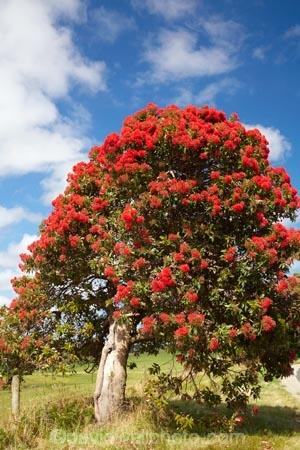 Red Flowering Gum Tree Marrawah North Western Tasmania