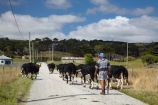 agricultural;agriculture;animal;animals;Australasian;Australia;Australian;calves;cattle;country;countryside;cow;cows;dairy;dairy-cow;dairy-cows;dairy-farm;dairy-farms;farm;farming;farmland;farms;field;fields;fur;grass;grassy;Herbivore;Herbivores;Herbivorous;horticulture;Island-of-Tasmania;Livestock;mammal;mammals;meadow;meadows;North-West-Tasmania;North-Western-Tasmania;Northern-Tasmania;paddock;paddocks;pasture;pastures;rural;State-of-Tasmania;stock;Tas;Tasmania;The-North