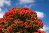 Australasian;Australia;Australian;bloodwood-tree;bloodwood-trees;Corymbia-ficifolia;gum-tree;gum-trees;gumnut-tree;gumnut-trees;Island-of-Tasmania;Marrawah;North-West-Tasmania;North-Western-Tasmania;Northern-Tasmania;red-flower;Red-Flowering-Gum-Tree;Red-Flowering-Gum-Trees;red-flowers;Red_flowering-Gum-Tree;State-of-Tasmania;Tas;Tasmania;The-North;tree;trees