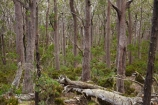 Australasian;Australia;Australian;beautiful;beauty;Ben-Lomond-N.P.;Ben-Lomond-National-Park;Ben-Lomond-NP;Ben-Lomond-Plateau;bush;East-Tasmania;Eastern-Tasmania;endemic;forest;forests;green;Island-of-Tasmania;national-park;national-parks;native;native-bush;natural;nature;North-East-Tasmania;North-Eastern-Tasmania;North-Tasmania;Northern-Tasmania;rural;scene;scenic;State-of-Tasmania;Tas;Tasmania;tree;tree-trunk;tree-trunks;trees;wood;woods