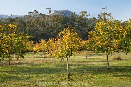 Walnut Orchard in Autumn, near Bright, Victoria, Australia