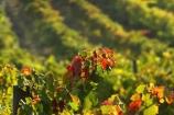 agricultural;agriculture;australasian;Australia;australian;autumn;boynton-vineyard;boynton-winery;Boyntons-of-Bright-winery;Boyntons-of-Bright;bright;color;colors;colour;colours;country;countryside;crimson;crop;crops;cultivation;fall;farm;farming;farmland;farms;field;fields;grape;grapes;grapevine;horticulture;leaf;leaves;porepunkah;red;row;rows;rural;scarlet;Victoria;vine;vine-leaf;vine-leaves;vines;vineyard;vineyards;vintage;wine;wineries;winery;wines;yellow